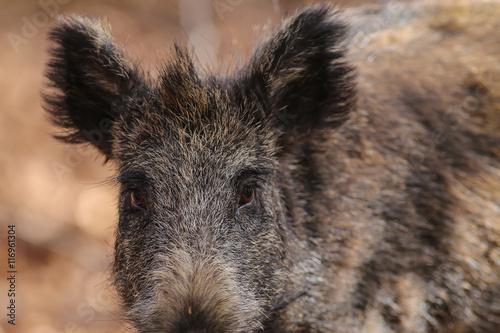 Fototapety, obrazy: Wildschwein Überläufer Augen