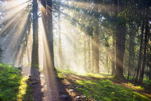 Golden Rays Of Spruce Forest
