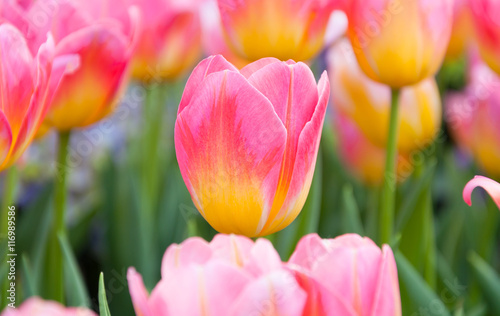 In de dag Candy roze Colorful pink tulips flowers,The blooming of tulip,The beautiful blooming tulips in garden