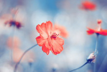 Floral Background With Small Red Blossoming Flower. Color Toning Applied.