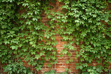 Red Old Brick Wall With Climbing Plants