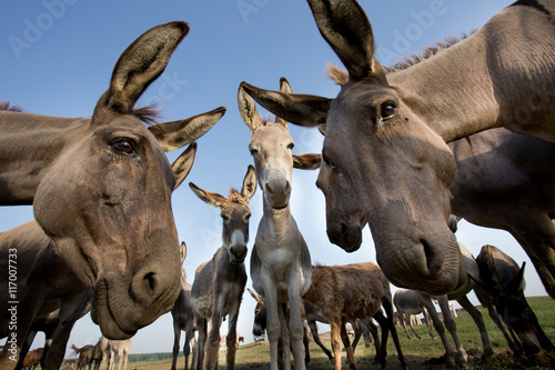 Fotobehang Ezel Donkeys staring at camera