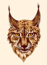 Sketching Of Lynx