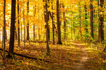 Golden Path Through The Woods