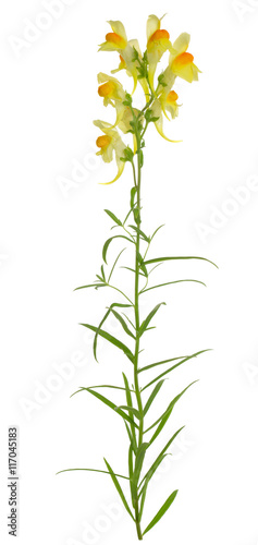 Foto auf AluDibond Ziehen Common Toadflax, Linaria vulgaris isolated on white background
