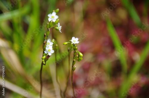Fotografía  食虫植物の花