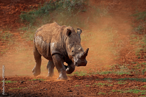 A white rhinoceros (Ceratotherium simum) running in dust, South Africa.