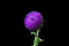 Musk Thistle Or Nodding Thistle Flower Close-up View On The Black Background