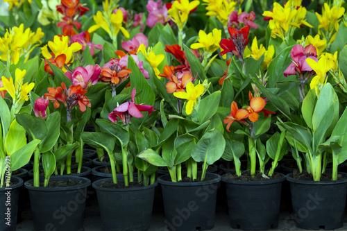 Adobe Stock & flowers in pots  azalea colorful flowers pots flowers shop. Indian ...