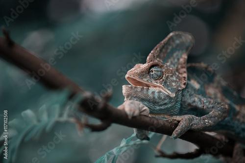 Recess Fitting Chameleon Veiled Yemeni chameleon is walking on a tree branch.