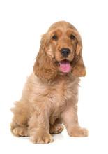 Puppy Cocker Spaniel