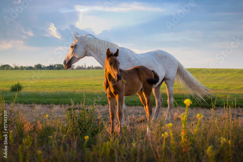 Fotografie, Obraz  white mare with red foal stay on the field on summer
