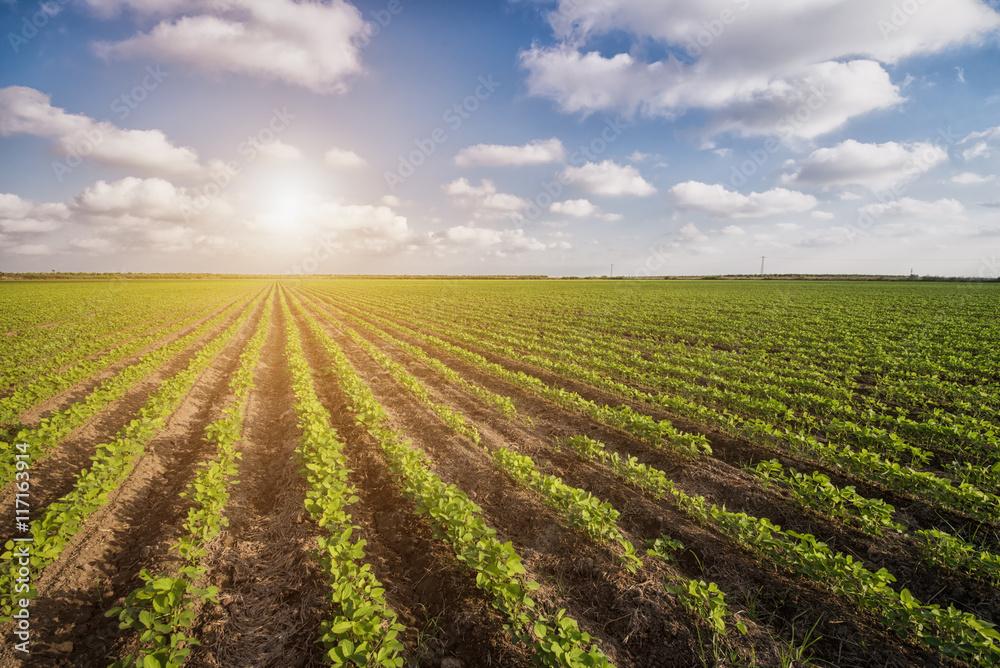 Fototapeta Vegetable Field