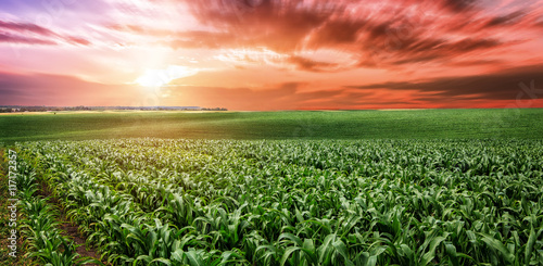 Fotomural fantastic Beautiful sunset over the green large field of corn. I