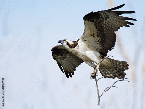 Osprey in Flight carrying Branches for Nest Wallpaper Mural