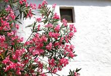 Beautiful Oleander Flower In T...