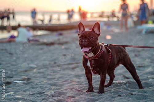 Deurstickers Franse bulldog French bulldog on the beach