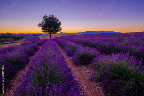 Poster Violet Tree in lavender field at sunset in Provence, France