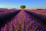 Fototapeta Krajobraz - Tree in lavender field at sunset in Provence, France