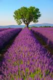 Fototapeta Krajobraz - Lavender field at plateau Valensole, Provence, France. Focus to the tree