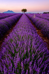 Panel Szklany Krajobraz Tree in lavender field at sunset in Provence, France