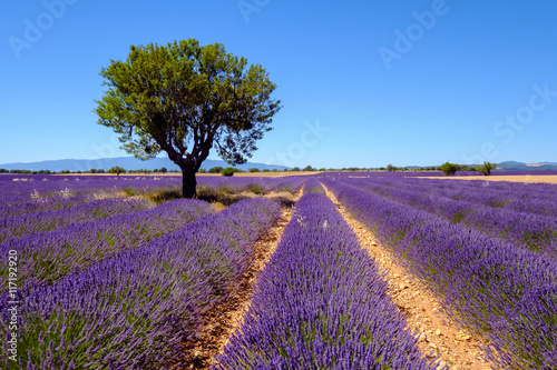 Foto op Aluminium Snoeien Lavender field at plateau Valensole, Provence, France