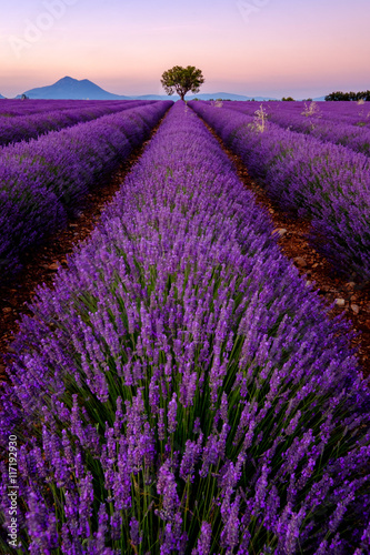 Poster Snoeien Tree in lavender field at sunset in Provence, France