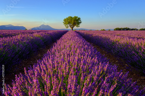 Tuinposter Lavendel Tree in lavender field at sunset in Provence, France