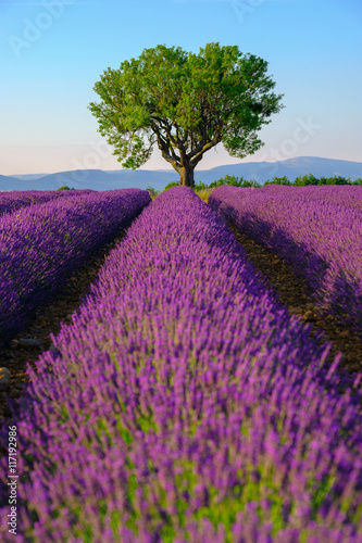 Tuinposter Lavendel Lavender field at plateau Valensole, Provence, France. Focus to the tree