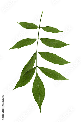 Poster Squelette décoratif de lame Branch with green leaves isolated on white