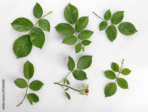 Poster Squelette décoratif de lame Green leaves isolated on white