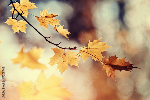 Branch of maple tree with autumn leaves. Wallpaper Mural