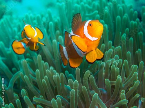 Poster Under water anemone fish at underwater, philippines