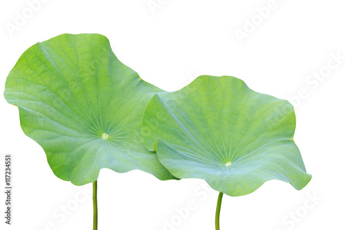 Photo Stands Lotus flower Big green lotus leaf isolated on white. Saved with clipping path