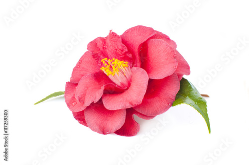 Foto flower of camellia on a white background