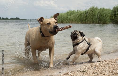 Poster Dog Blije honden, Amerikaanse stafford en mopshond, spelen samen buiten in het water met een stok