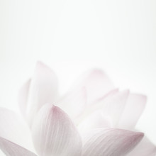 Pink Lotus In Soft Color And Blur Style For Background