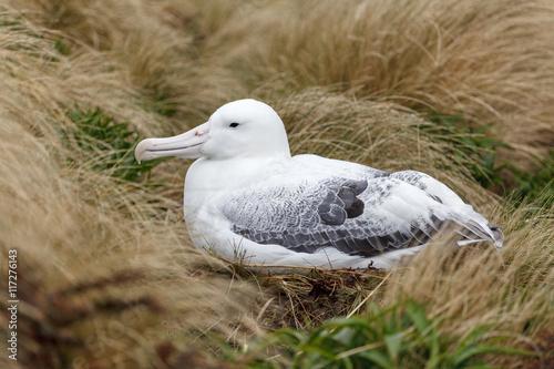Fotografie, Obraz  Albatros real