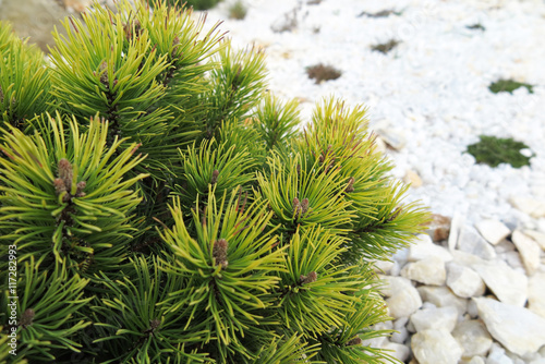 "Golden pine (Pinus mugo ""Ophir"") in the rock garden"