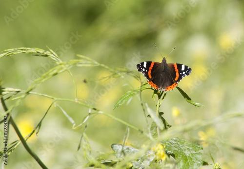 Foto auf Leinwand Schmetterling vlinder Vanessa atalanta in vlindertuin