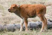 Bison Calf Standing