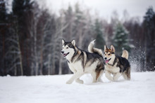 Two Dogs Breed Alaskan Malamut...