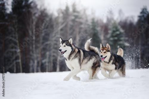two dogs breed Alaskan Malamute walking in winter Canvas Print