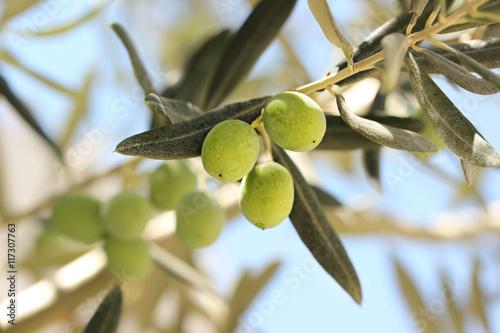 Tuinposter Olijfboom Fresh olives on olive tree.