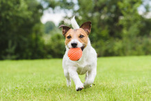 Funny Pet Dog Playing With Orange Toy Ball