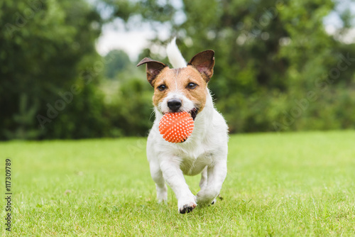 Funny pet dog playing with orange toy ball Poster