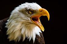 Captive Bald Eagle At Hawk Con...