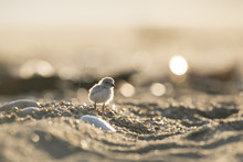 An Endangered Cute And Tiny Piping Plover Chick Stands On A Sandy Beach As The Early Morning Sun Shines From Behind It.