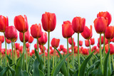 Fototapeta Tulipany - Close-up of red tulips from below in a field of red tulips against a bright sky
