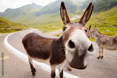 Funny donkey on road Canvas Print